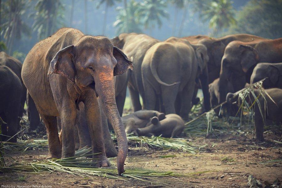 слон, джунгли, шри-ланка, Лора