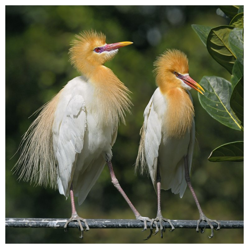 восточная, египетская, цапля, bubulcus, ibis, coromandus, бали, индонезия, Наталья Паклина