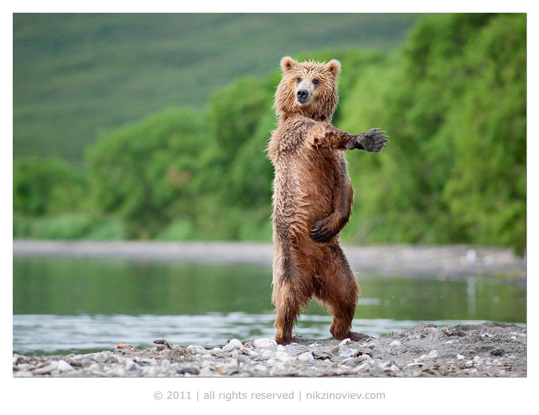 медведь, камчатка, курильское озеро, дикая природа, россия, николай зиновьев, золотая черепаха, Николай Зиновьев