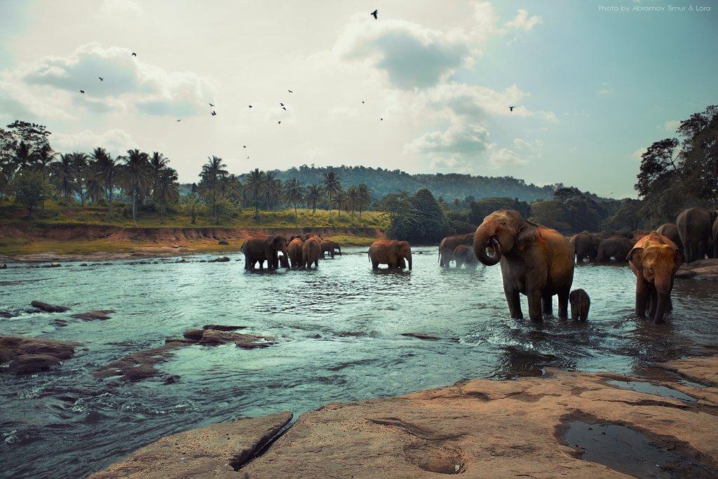 слоны, река, природа, шри-ланка, цейлон, Лора
