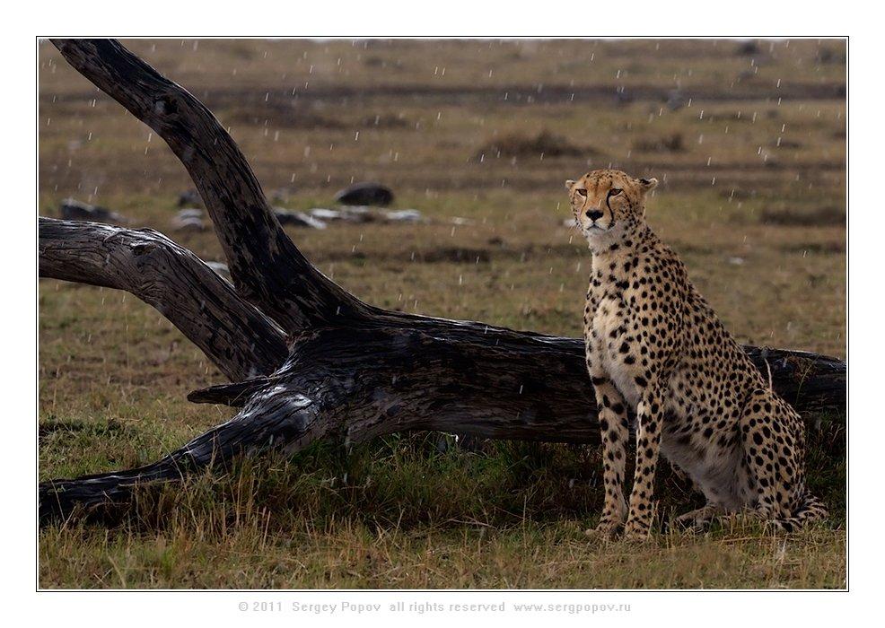 фотографии дикой природы, герпрд, масай мара, кения, Попов Сергей