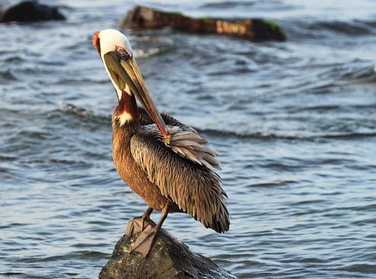 американский бурый пеликан, венесуэла, Николай Попов