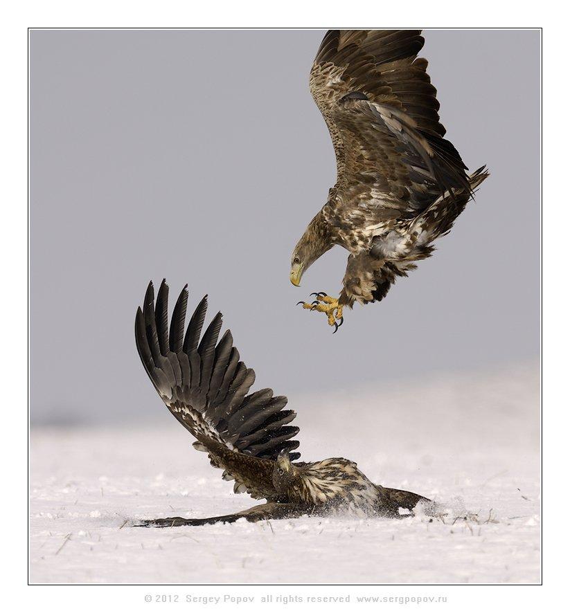 белохвостый орлан, фотографии дикой природы, Попов Сергей