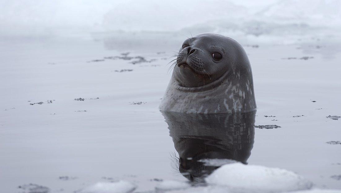 тюлень уэдделла, антарктика, king georg island, Руслан Елисеев