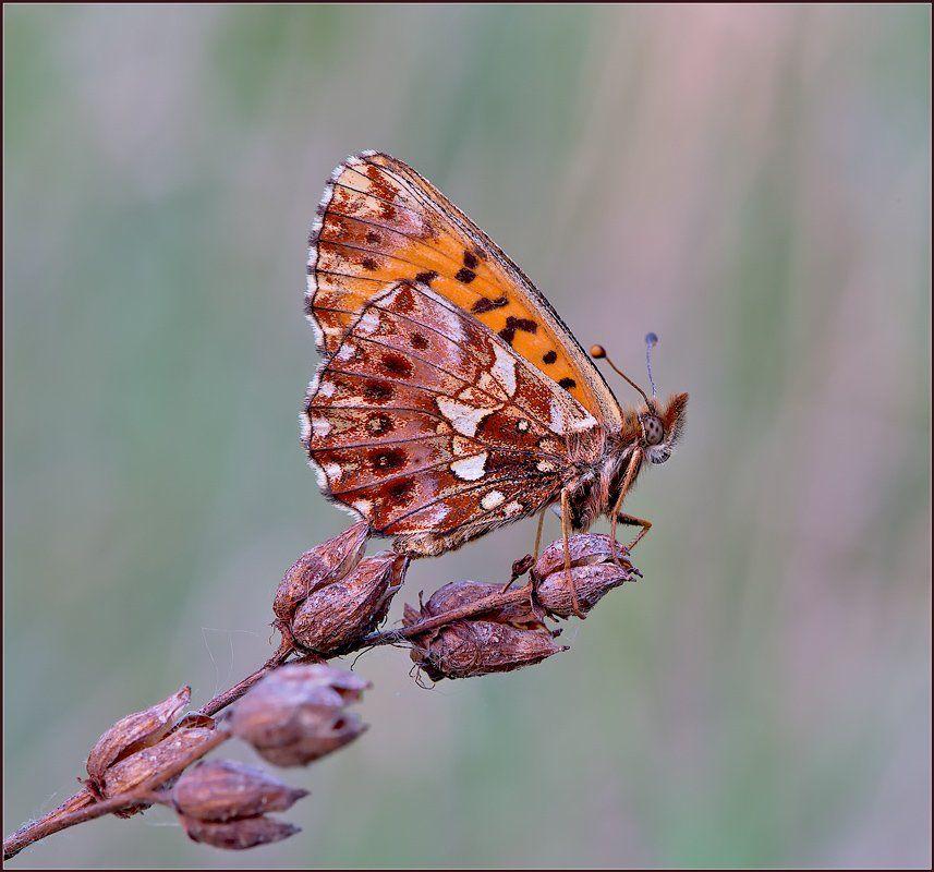 макро,бабочка,, Евгений Кирилкин.