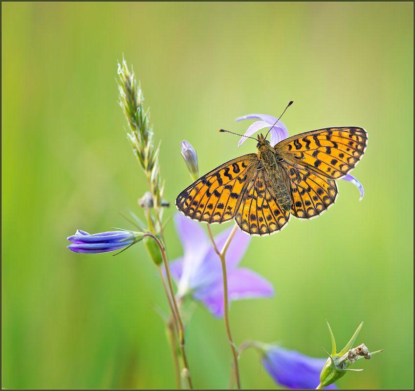 макро,бабочка,природа,, Евгений Кирилкин.