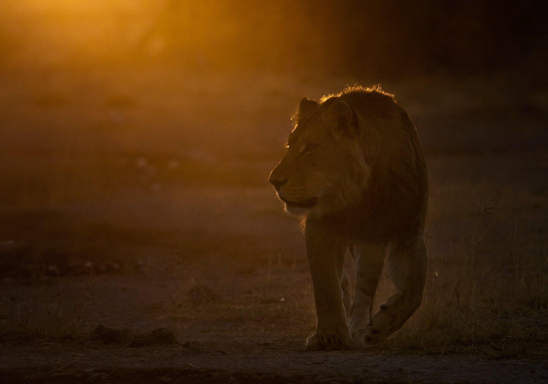 намибия,лев, сергей иванов ,дикая природа, африка, Сергей Иванов