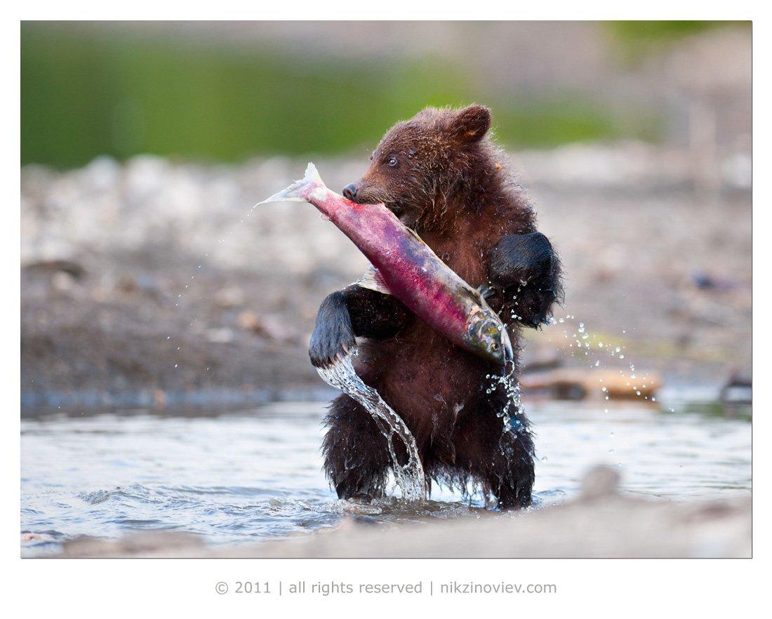 медвежонок, камчатка, курильское озеро, дикая природа, россия, николай зиновьев, Николай Зиновьев