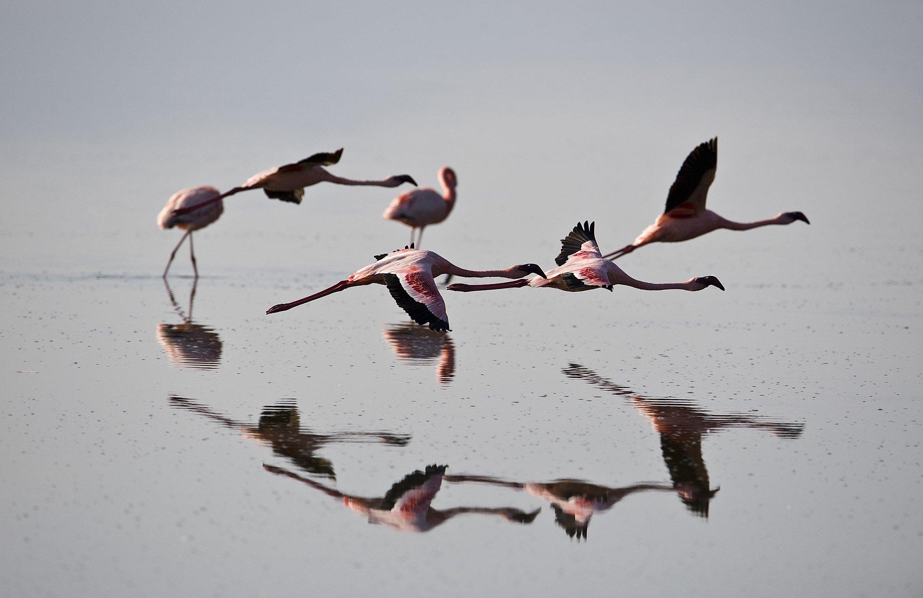 розовое, фламинго, найкуру, Roman Gamurar