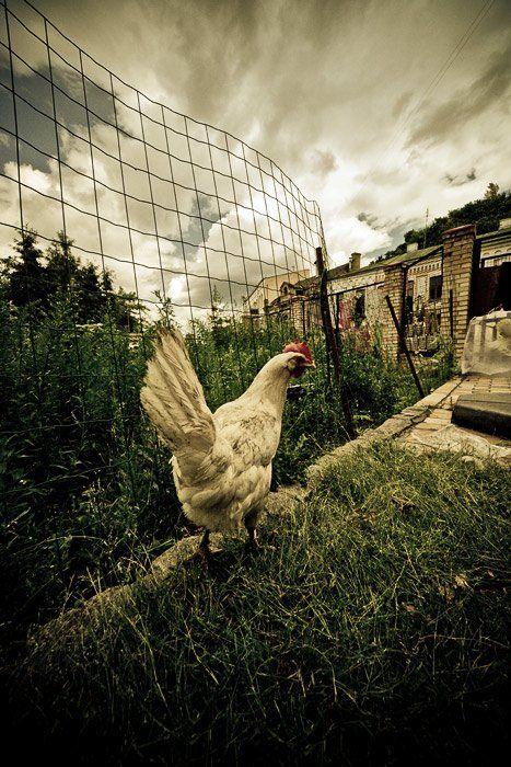 курица, живущая, в городе, Марк