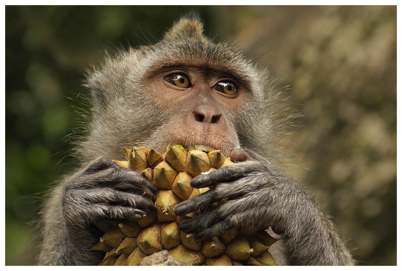 макак-крабоед, дуриан, бали, индонезия, macaca fascicularis, durian, bali, indonesia, Наталья Паклина