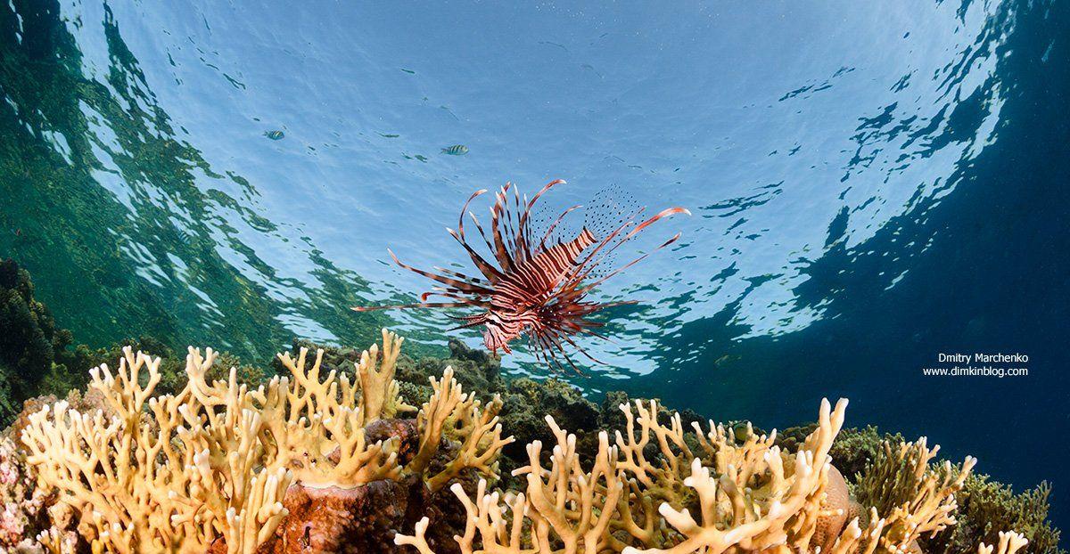 крылатка, lion fish,underwater, Дмитрий