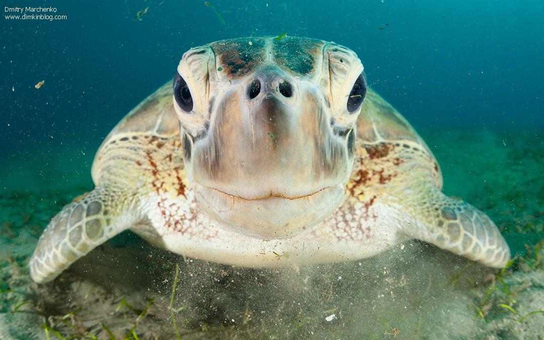 черепаха, зеленая черепаха,turtle, Дмитрий