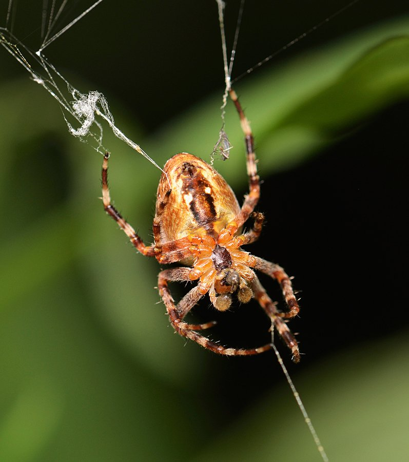 nikon, d7000, macro, kazakhstan, nature, spider, казахстан, природа, макро, паук, Эдуард Ким