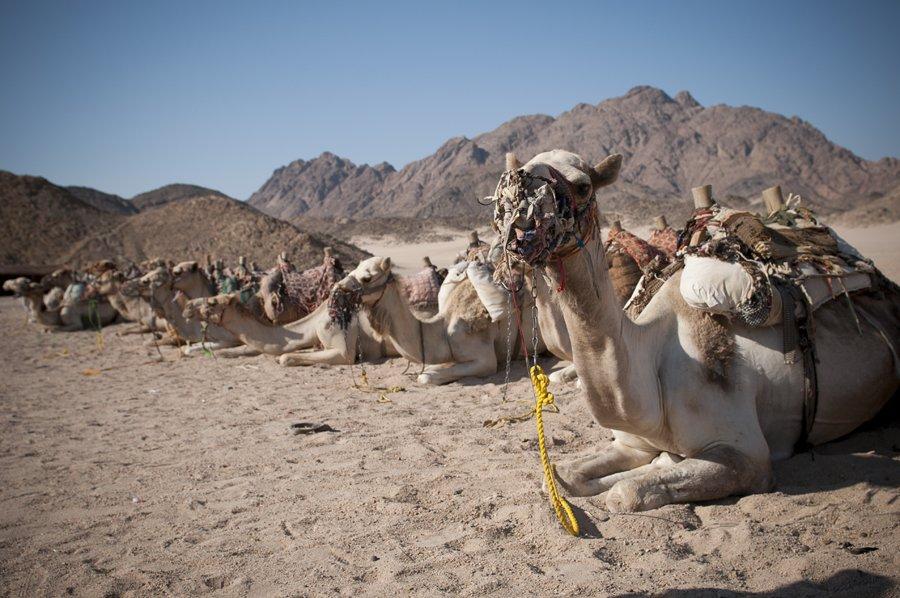 верблюд, египет, Denis Khorkov