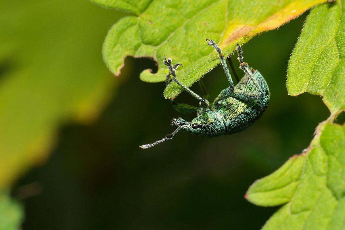 nikon, d7000, macro, kazakhstan, nature, coleoptera, weevil, beetle, макро, долгоносик, жук, Эдуард Ким