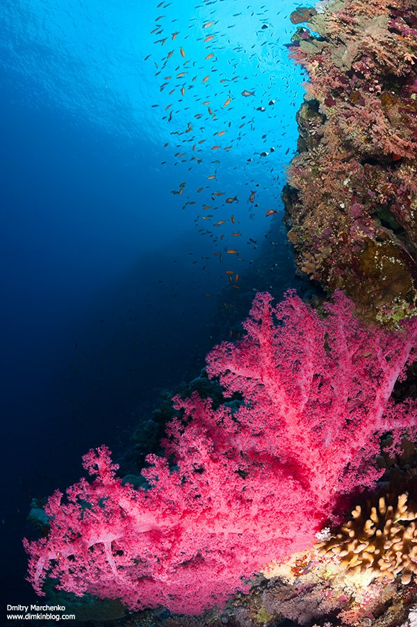 soft corals,мягкие кораллы,кораллы,underwater, Дмитрий Марченко