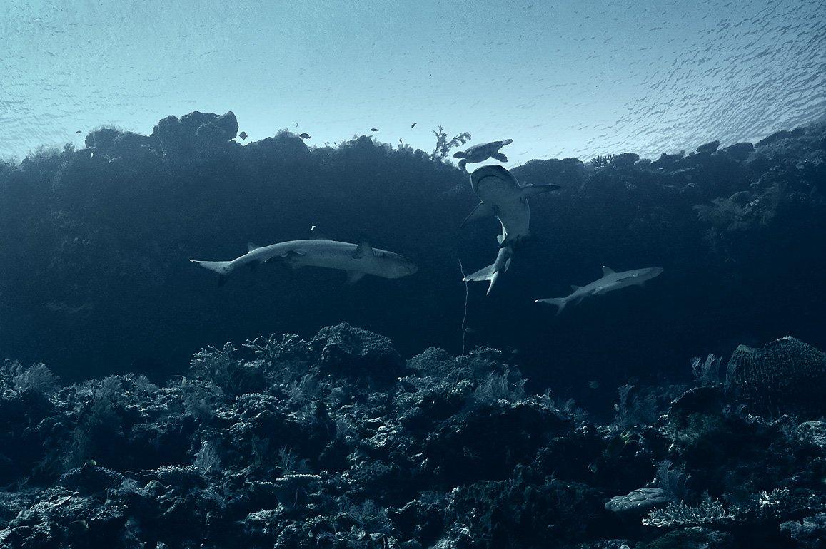 акулы, черепаха, Сергей Шанин