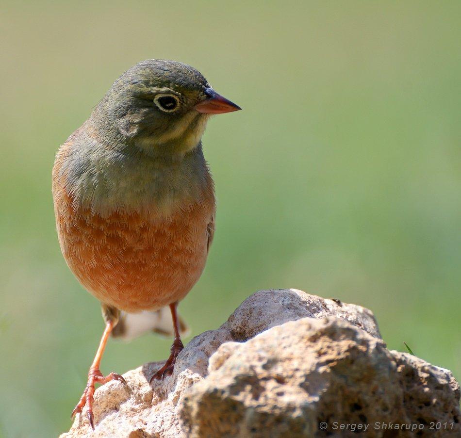 birds, wildlife, фотоохота, птицы, крым, сергей шкарупо, Сергей Шкарупо