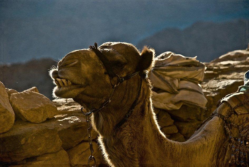 Верблюд, Египет, Животные, Синай, Олег Скворцов