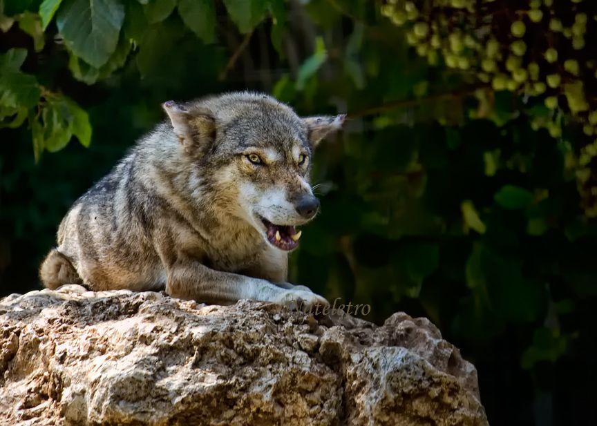 Волк (Серый волк, Обыкновенный волк, лат. Canis lupus) — хищное млекопитающее семейства псовых. Кроме того, как показывают результаты изучения последовательности ДНК и дрейфа генов, является прямым предком домашней собаки, которая обычно рассматривается как подвид волка (C.l.familiaris). Волк — наиболее крупное животное в своём семействе: длина его тела (с хвостом) может достигать 160 см, высота в холке до 90 см; масса тела до 62 кг.
