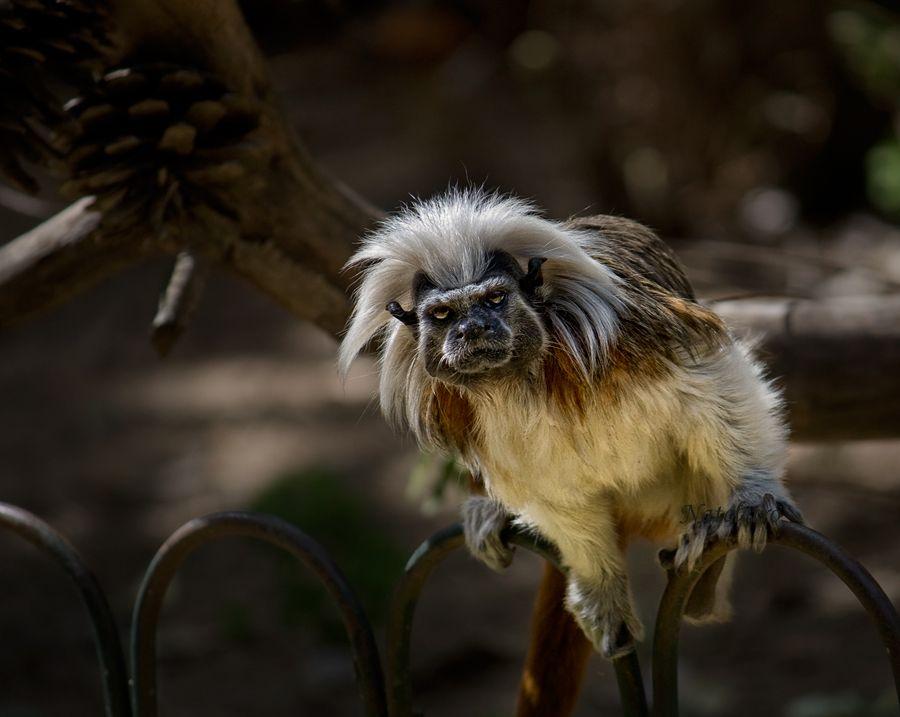 """Тамарины или сагуины (лат. Saguinus) - род обезьян из семейства игрунковых. Длина тела варьируется от 18 до 30 см, с хвостом — от 25 до 44 см. Весом достигают от 220 до 900 грамм. Виды легко отличаются друг от друга по внешнему виду. Окрашены в различные тона чёрного, коричневого и белого цветов. Большинство видов имеют обычно длинные """"усы""""."""