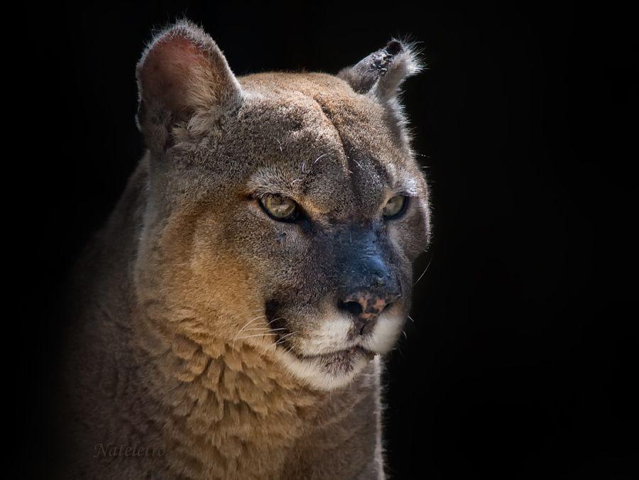 Пума, кугуар, горный лев (лат. Puma concolor) — вид класса млекопитающих отряда хищных семейства кошачьих. До 1993 г. носила название Felis concolor. Слово «пума» происходит из языка кечуа.Ближайшими родственниками пумы являются ягуарунди и вымерший североамериканский род Miracinonyx. Пума — второй по величине представитель семейства кошачьих в Америке; крупнее неё только ягуар. Эта кошка достигает в длину 100—180 см, при длине хвоста 60—75 см, высоте в холке 61—76 см и весе до 105 кг (самцы). Обычный нормальный самец крупного подвида весит около 70 — 90 кг. Самки мельче самцов на 30 %.
