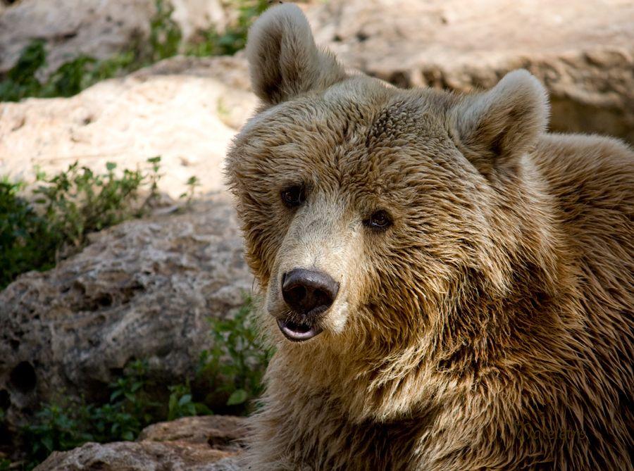 Сирийский бурый медведь. Медве́жьи (лат. Ursidae) — семейство млекопитающих отряда хищных. Отличаются от других представителей псообразных более коренастым телосложением. Медведи всеядны, хорошо лазают и плавают, быстро бегают, могут стоять и проходить короткие расстояния на задних лапах. Имеют короткий хвост, длинную и густую шерсть, а также отличные обоняние и слух. Охотятся вечером или на рассвете. Обычно боятся человека, но могут быть опасными в тех местах, где они привыкли к людям, особенно полярный медведь и медведь гризли. Невосприимчивы к пчелиным укусам. В природе естественных врагов почти не имеют. Сравнительно с остальными семействами отряда хищных, медведи отличаются наибольшим однообразием внешнего вида, размеров, многих особенностей внутреннего строения. Это самые крупные из современных наземных хищных зверей.
