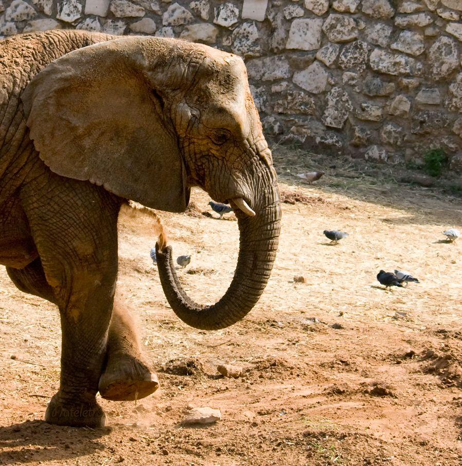 Слоно́вые (лат. Elephantidae) — семейство млекопитающих отряда хоботных. К этому семейству в наше время относятся наиболее крупные наземные млекопитающие.  Предполагается, что слоновые появились в четвертичный период. Слоны обладают музыкальным слухом и музыкальной памятью, способны различать мелодии из трёх нот, музыку на скрипке и низкие звуки баса и рога предпочитают высоким флейтовым мелодиям.
