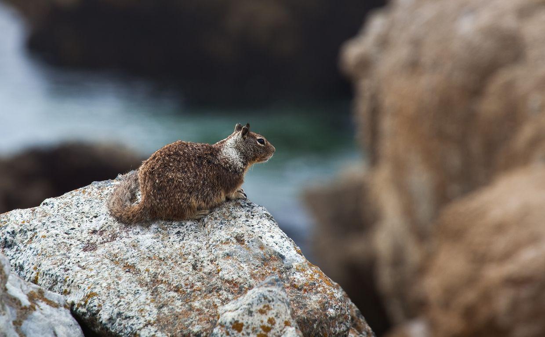 4. Как и другие представители своего рода, калифорнийские суслики живут в норах (группой или по одиночке).