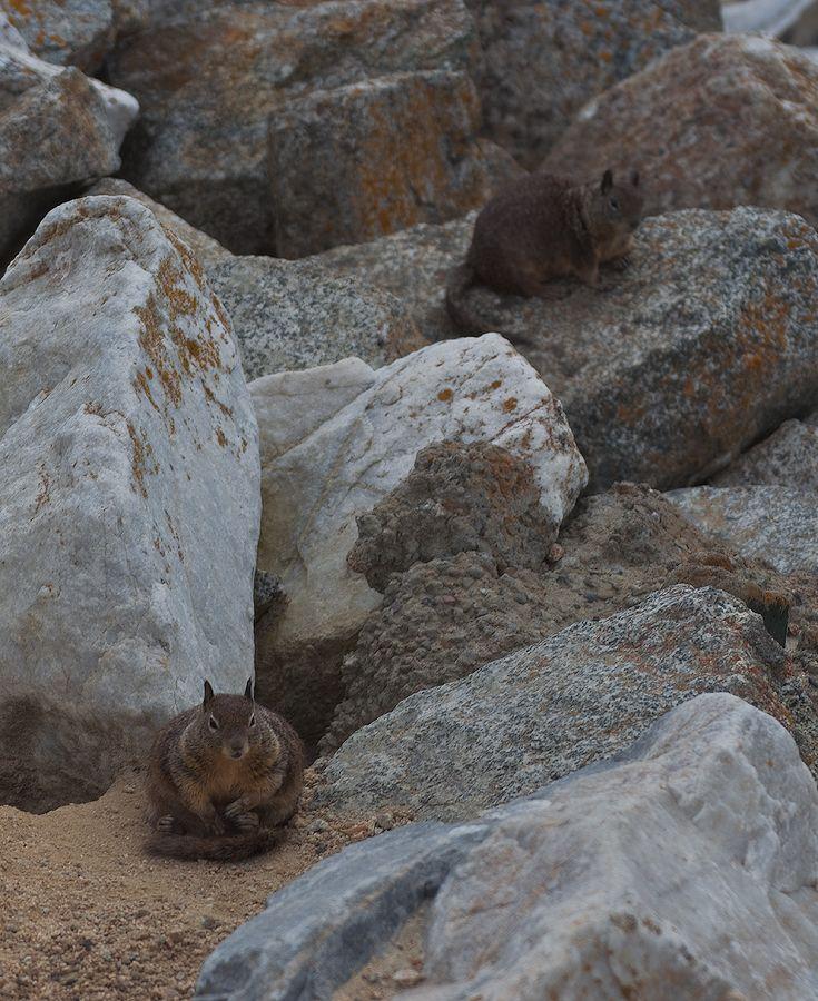 10. В холодных районах ареала обитания калифорнийский суслик впадает в спячку на несколько месяцев, но в местах с мягкой зимой они активны круглый год. В жаркое лето также могут впадать в спячку на несколько дней, до понижения температуры воздуха.