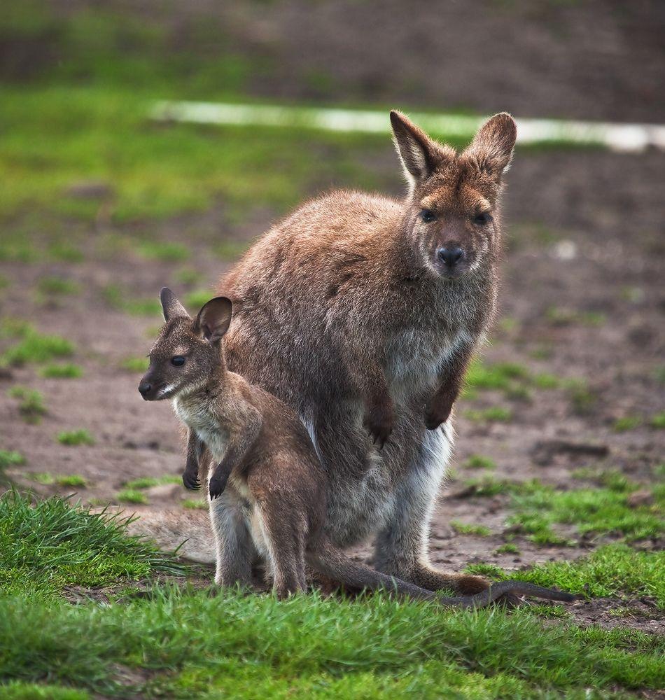 1. Валлаби  — группа видов сумчатых млекопитающих из семейства кенгуровых, как правило меньших по размеру, чем кенгуру. НЕ отдельная биологическая группа, а совокупность видов, состоящая из нескольких родов, принадлежащих к семейству кенгуровых.