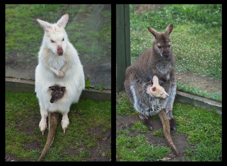 8. Помогите кенгуру, потому что поутру кенгуру в своем кармане обнаружила... чужого ребенка!