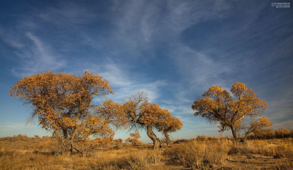 Туранга - реликтовый тополь, дерево, пережившее ледниковый период.