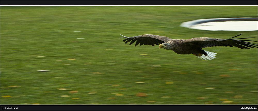 ОРЛАН-БЕЛОХВОСТ (Haliaeetus albicilla) большая птица: общая длина 77—100 см, длина крыла 57,5—69 см, вес 3—6,5 кг. Самки орлана-белохвоста значительно превосходят самцов по величине. Окраска взрослых птиц (четырехлетних и старше) бурая в разных оттенках, голова буровато-охристая или беловатая, маховые темно-бурые, хвост (из 12 рулевых) белый. Орлан-белохвост гнездится в Азии от тундры до Японии, Китая, Монголии, Казахстана, Северного Ирана и Турции (Малая Азия); в Европе от севера Скандинавии до Румынии, Венгрии, Балкан и побережий Балтийского моря; на Корсике и Сардинии; на Гебридских и Шетландских островах; в Исландии и Гренландии. Зимой часть птиц, в особенности молодые, откочевывает к югу до Пакистана, Китая и Северной Африки. В Центральной и Западной Европе из-за преследования человеком белохвост стал очень редким.