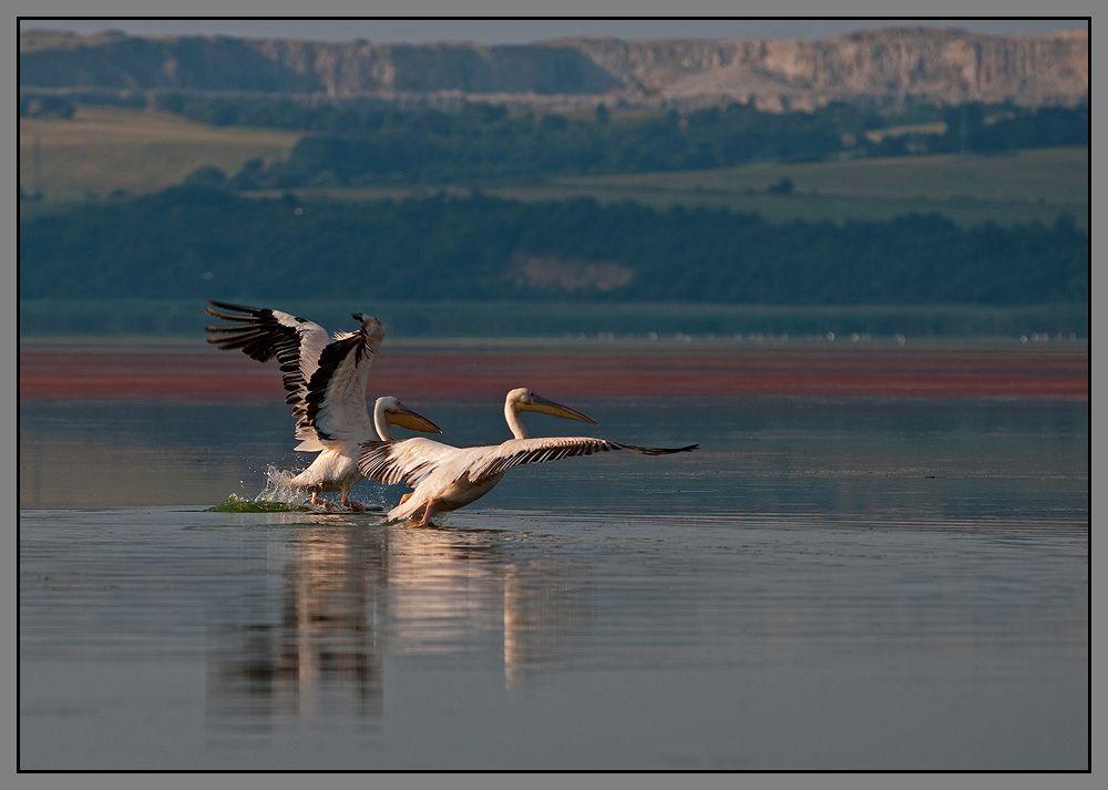 Бургасские озера (Болгария) - по своему уникальное место. Они находятся на перекрестке путей большой европейской птичьей миграции. Большие пространства, небольшая глубина и пищевые ресурсы, делают их идеальным местом для отдыха многих видов пролетных птиц.