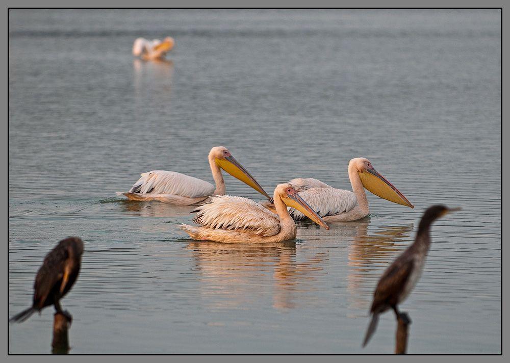 В августе-сентябре тут собираются тысячные стаи пеликанов, лебедей, уток, цапель и многих других птиц.