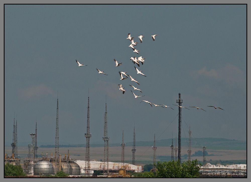 Время от времени пеликаны уходят с водной поверхности и отдыхают на земле, выбирая открытые, хорошо прогреваемые осенним солнцем пространства...например пашни у забора нефтеперегонного завода.