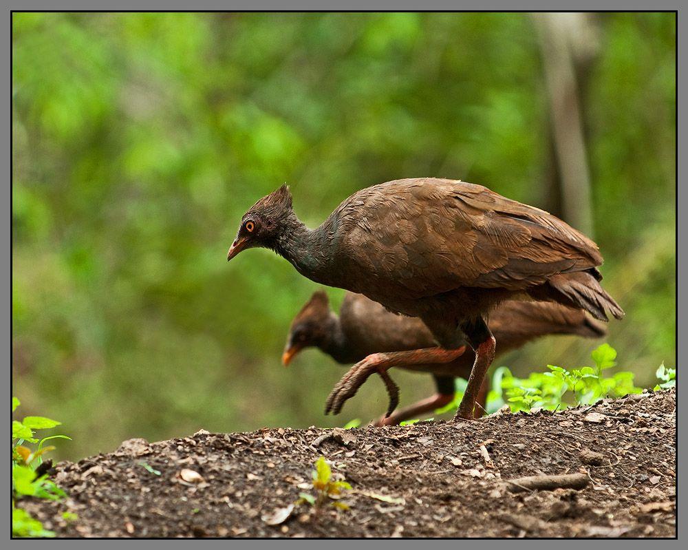 Сорные куры — своеобразные птицы, резко отличающиеся не только от остальных куриных, но и от всех других птиц характером размножения. Они не строят гнезд (в общепринятом смысле), не насиживают кладку и не выкармливают птенцов. Тем не менее забота о потомстве у них проявляется очень ярко, но в весьма своеобразной форме.