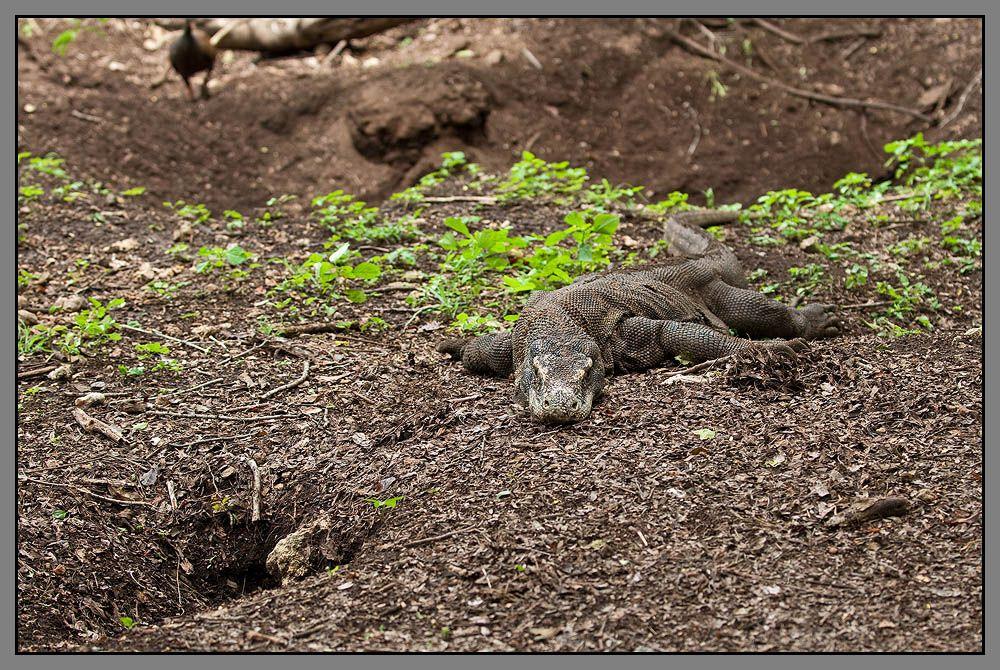 Часто местом кладки Комодских варанов являются гнёзда сорных кур, возводящих компостные кучи — естественные инкубаторы из палой листвы для терморегуляции развития своих яиц. Найдя кучу, самка варана вырывает в ней глубокую нору, а часто несколько, чтобы отвлечь внимание кабанов и других хищников, поедающих яйца. Откладка яиц происходит в июле—августе, средний размер кладки комодского варана — около 20 яиц. Яйца достигают в длину 10 см и диаметра 6 см, весят до 200 г. Самка охраняет гнездо в течение 8—8,5 месяцев до вылупления детёнышей.