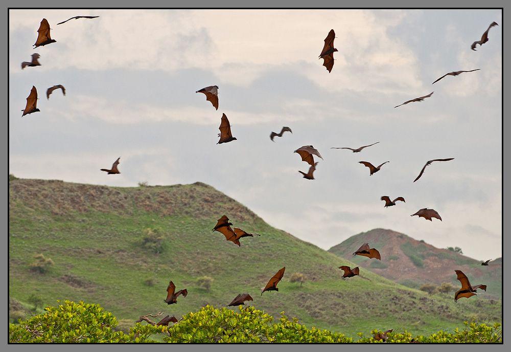 Там же, в прибрежных манграх, обитает огромная колония летучих лисиц.