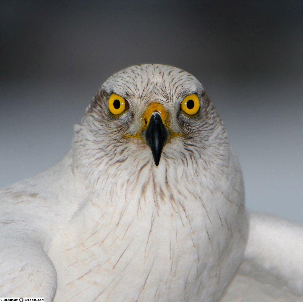 Очень искусна эта птица в охоте на лету. Она незаметно стелется над самой землей,  лавируя между кустами и стволами деревьев, и, внезапно вывернув из-за укрытия,  бросается на жертву. Иногда тетеревятники вылетают на охоту в поля.  Чаще их можно видеть здесь ранней весной, когда, притаившись в бурьяне у проталин,  хищники подстерегают останавливающихся на отдых чибисов, скворцов, жаворонков и  трясогузок. Осенью по первому снегу ястребы вновь направляются в поля и перелески  — на этот раз на охоту за зайцами. Тетеревятнику по силам охотиться на крупную дичь.  Его главное оружие на охоте — на редкость сильные и длинные лапы, вооруженные  смертоносными когтями.