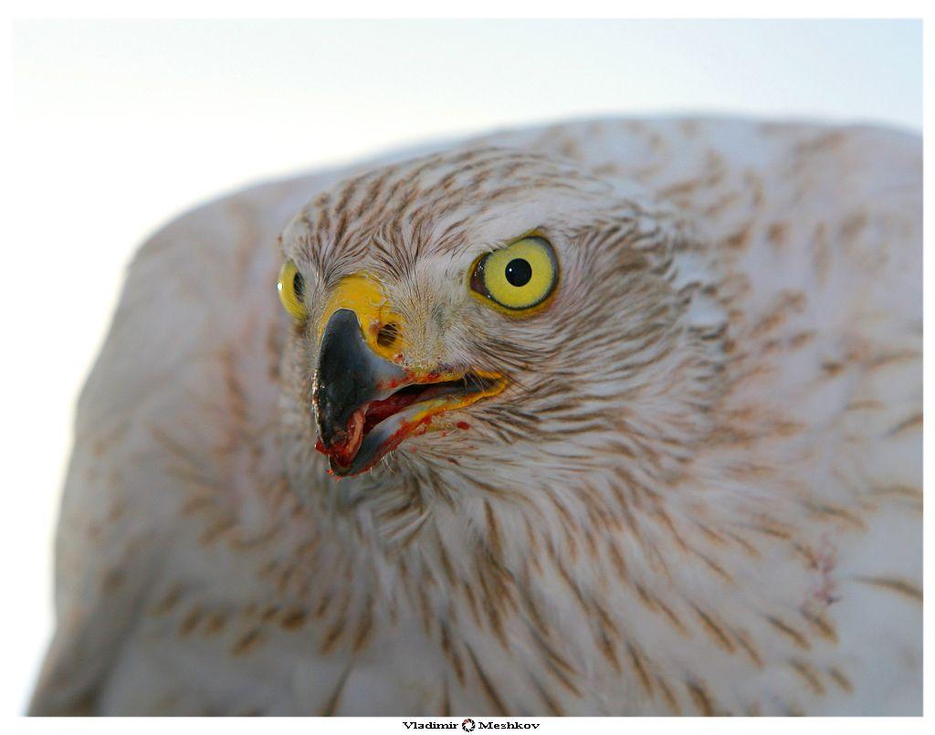 Зимой его жертвами могут стать даже глухари и тетерева, которых он подстерегает в  тот момент, когда эти грузные птицы покидают свои подснежные спальни.  Круглый год он терроризирует зайцев, белок, рябчиков, дятлов, соек, ворон и сорок.  Летом часто преследует голубей, горлиц, дроздов, не гнушается и мелкими птицами.  Зимой многие тетеревятники покидают лесные чащобы и перебираются поближе к  населенным пунктам, куда их влечет обилие ворон, галок и голубей.  Известно множество случаев, когда молодые тетеревятники, увлекшись погоней за  голубями, ударялись об оконные стекла, пробивали их и попадали внутрь домов.  Поймав птицу, ястреб несет ее в укромное место, где тщательно ощипывает.