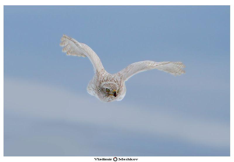 Гнездо тетеревятник строит высоко на дереве и тщательно прячет его в самой густой  части кроны. В течение всего гнездового периода ястребы носят в гнездо лиственные  или хвойные веточки, подновляя подстилку и закрывая ею остатки несъеденной добычи. Европейские тетеревятники оседлы, пары не распадаются в течение всей жизни партнеров.  На своем участке каждая пара имеет до девяти гнезд, отстоящих иногда на несколько  километров одно от другого. Каждый год тетеревятники выводят птенцов в новом гнезде. Чтобы прокормиться в течение всего года самим и вырастить птенцов, паре  тетеревятников необходима территория не менее 20 км2, которую хозяева бдительно  охраняют от других тетеревятников, но другим хищным птицам -ястребам-перепелятникам,  коршунам, осоедам - иногда удается устроиться всего в нескольких сотнях метров от  грозных соседей.