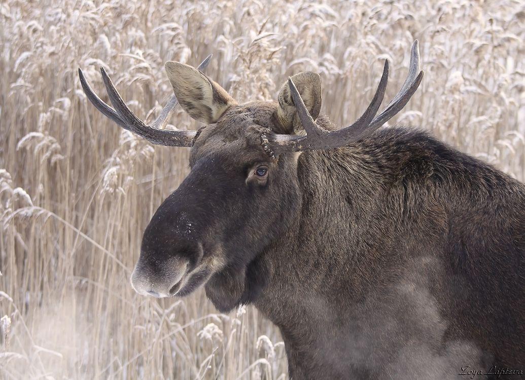 """В московском парке  Сокольники  замечено несколько  взрослых особей лося. Как сообщают """"Вести-Москва"""", популяция животных увеличивается и заповедник """"Лосиный остров"""" стал для животных тесным, вот они и осваивают новые территории."""