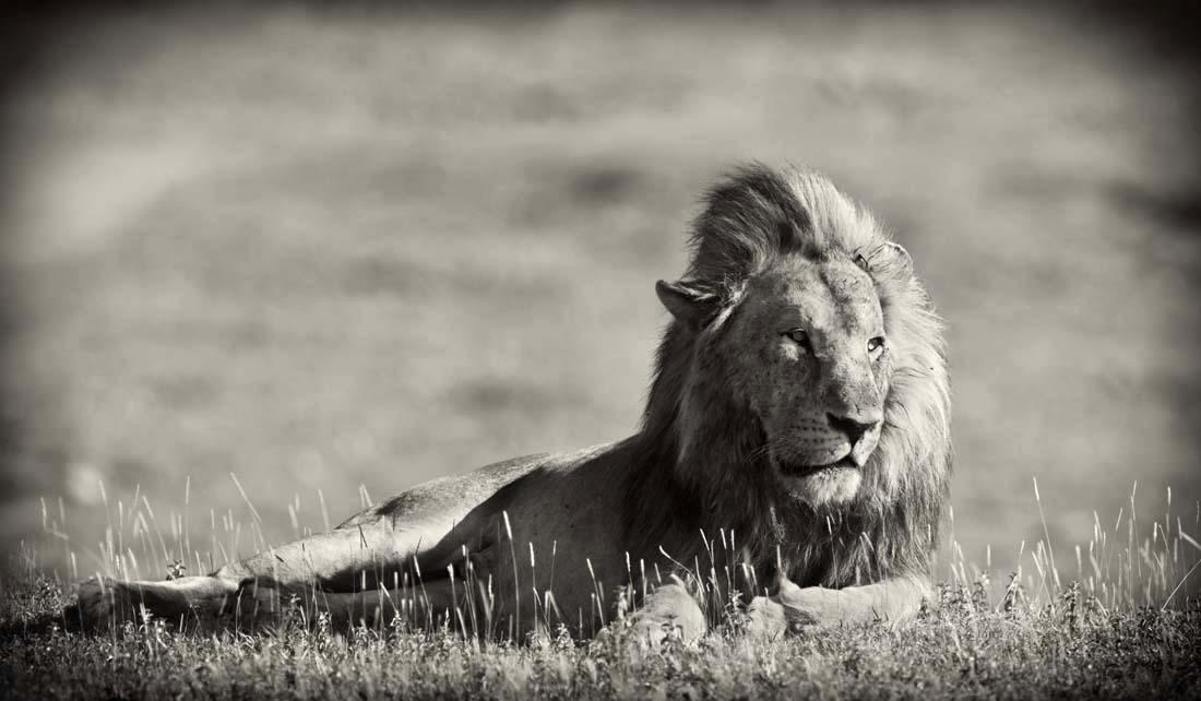 Лев, как правило, во время отдыха располагается в нескольких десятках метров от прайда и подходит к нему, чтобы общаться с самками в гареме и своими отпрысками-львятами.