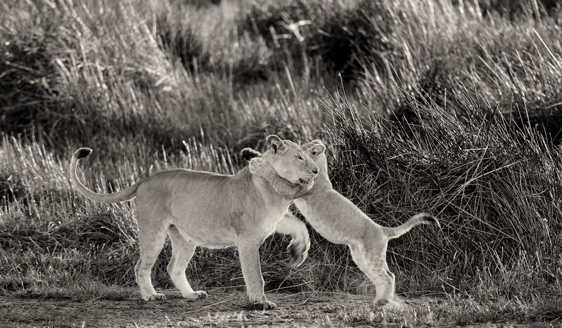 Очень часто наблюдается явление, когда старшие львята в прайде берут на себя роль нянек, всячески заботясь о малышах, а уж те не упускают возможности поиграться и похулиганить.