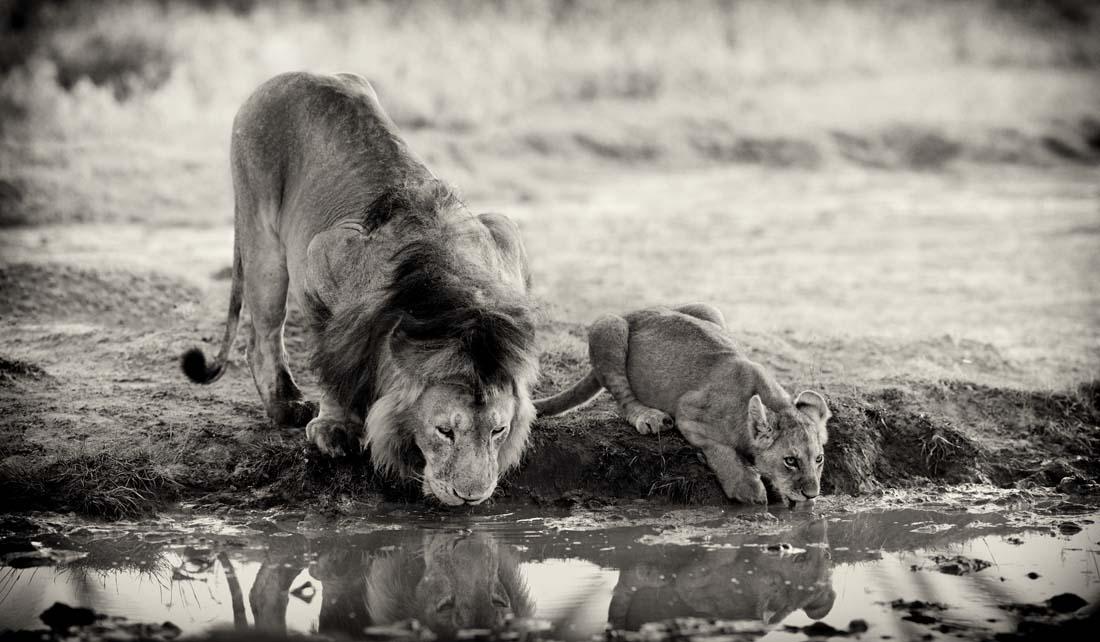 Лев очень толерантен к своим отпрыскам, позволяет им подходить к себе и демонстрировать знаки уважения.