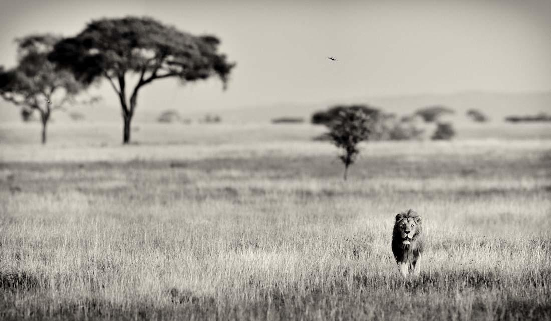 Лев может покидать прайд, уходя на большие расстояния. Периодически он издает специфичный рев, который слышно на многие километры, уведомляя своих родичей о своем присутствии.