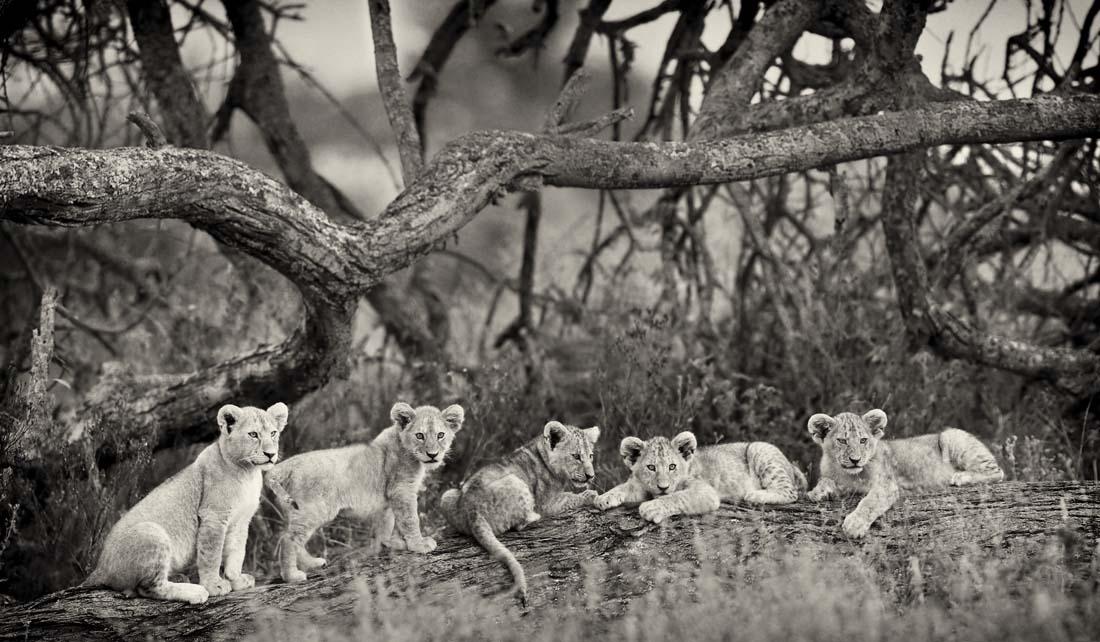 Львята от разных самок легко обьединяются в детские сады. На время, когда самки покидают прайд, уходя на охоту (если количество самок это позволяет), они оставляют одну дежурную мать, чтобы та следила за всей группой. В данном случае львиц было только две и обе они ушли охотиться, оставив львят одних-одинешенек.